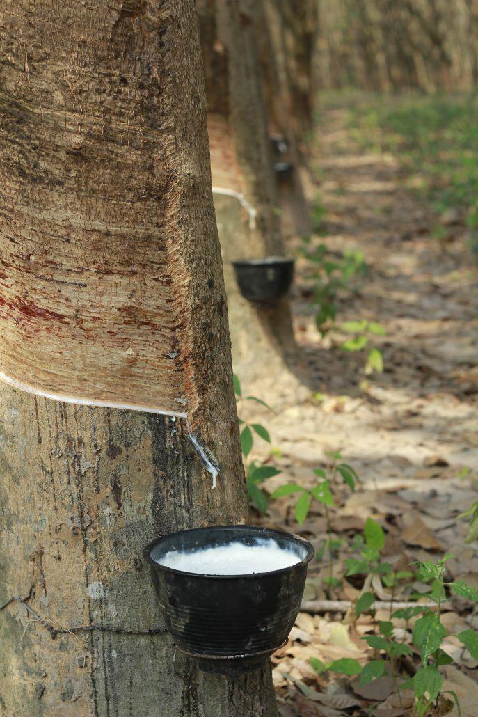Rubber tree farm